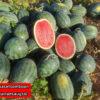 เมล็ดพันธุ์ แตงโม กินรี 188 ตรา ตะวันต้นกล้า บรรจุ 40 กรัม / กระป๋อง 5