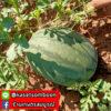 เมล็ดพันธุ์ แตงโม กินรี 188 ตรา ตะวันต้นกล้า บรรจุ 40 กรัม / กระป๋อง 4