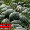 เมล็ดพันธุ์ แตงโม กินรี 188 ตรา ตะวันต้นกล้า บรรจุ 40 กรัม / กระป๋อง 3
