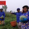 เมล็ดพันธุ์ แตงโม กินรี 188 ตรา ตะวันต้นกล้า บรรจุ 40 กรัม / กระป๋อง 2