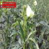 เมล็ดพันธุ์ กระเจี๊ยบเขียว ชาล ตรา พัลซาร์ บรรจุ 100 กรัม / กระป๋อง 1