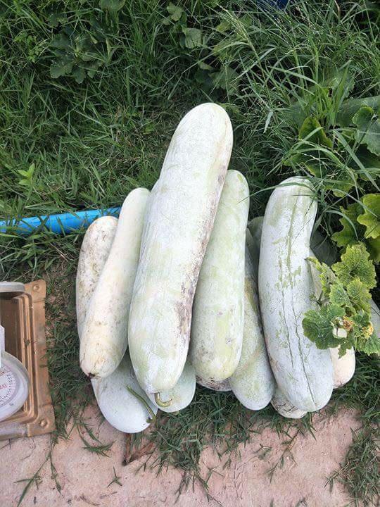 เมล็ดพันธุ์แฟงงาช้าง