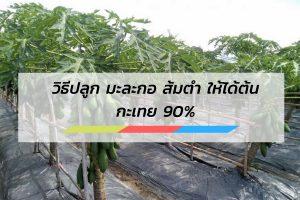 วิธีปลูก มะละกอ ส้มตำ ให้ได้ต้นกะเทย 90%