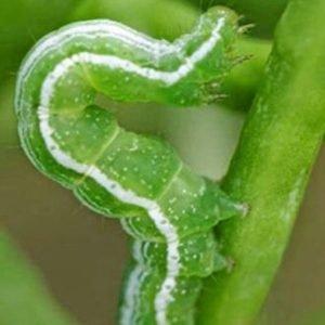 สารป้องกันกำจัดแมลง(หนอน)