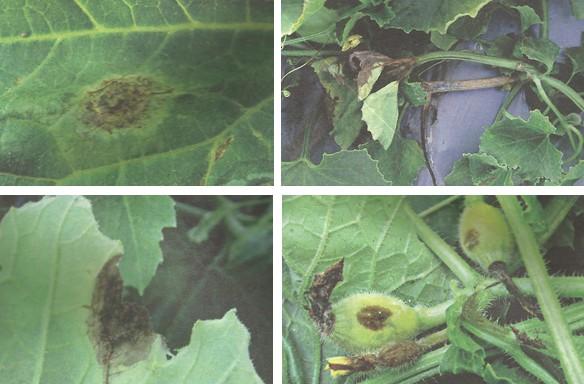 โรคต้นแตกยางไหลของแตงกวา