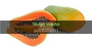 วิธีปลูก มะละกอ