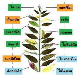 ลักษณะอาการขาดธาตุต่าง ๆ ของพืช
